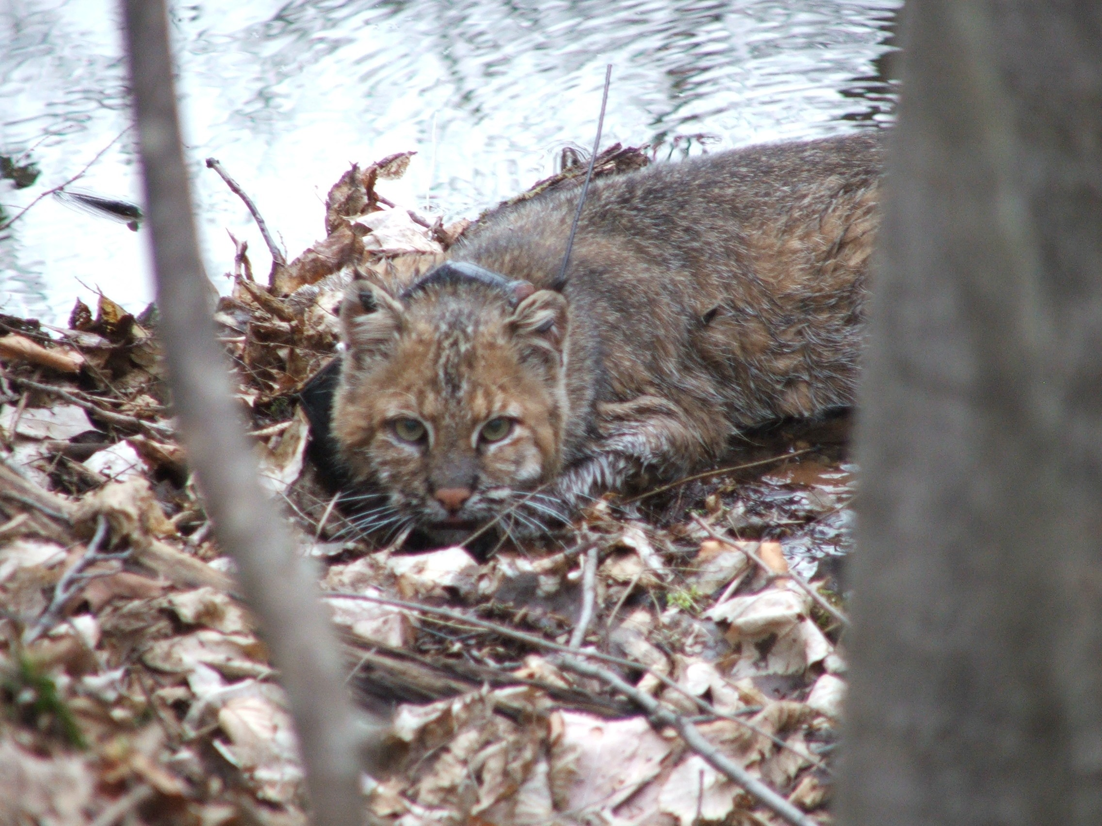 Bobcat with newly attached GPS collar, which automatically collects data on the bobcat's location every 20 minutes.  The collar releases automatically after 3 months, when it is retrieved by researchers.
