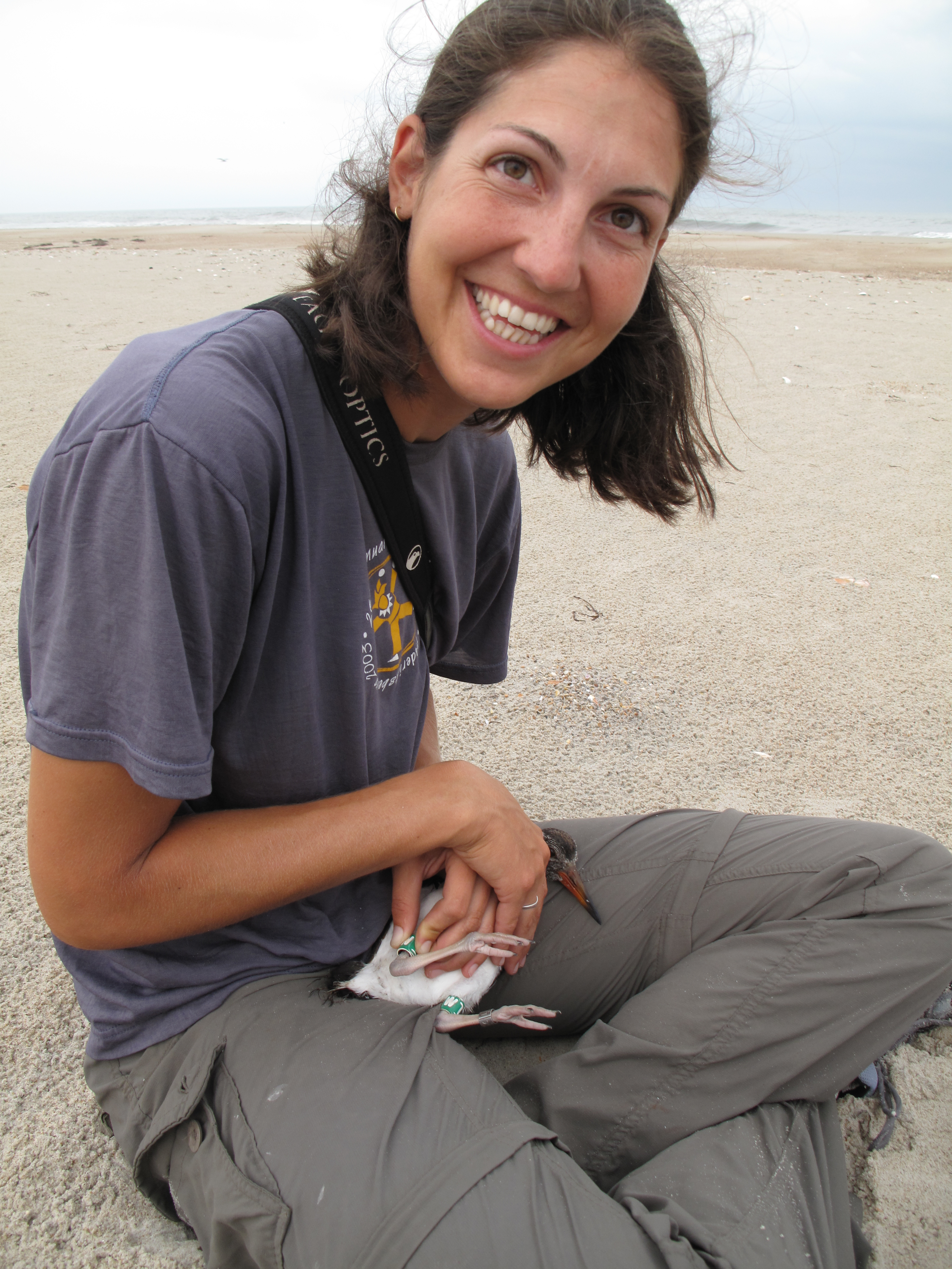 Tracy Borneman banding an American Oystercatcher chick.