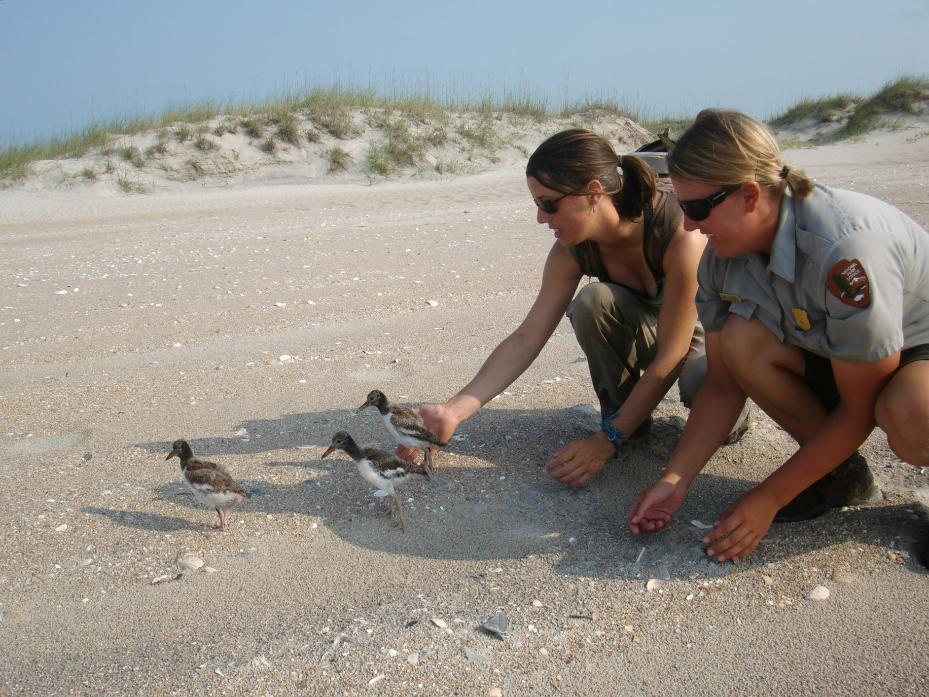 Jessica Stocking and Park Service employee release Oystercatcher chicks.