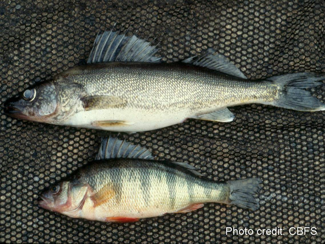 Walleye (Sander vitreus) and yellow perch (Perca flavescens)