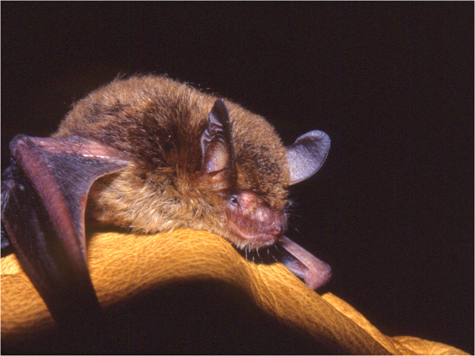 Northern bat (Myotis septentrionalis)